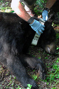 Bear being fitted with radio collar