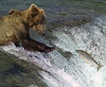 Bear fishing for salmon in waterfall