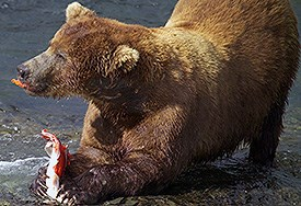 Brown bear eating salmon