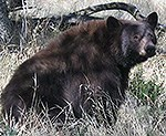 Black bear sitting in grass