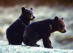 Two black bear cubs sitting on a rock
