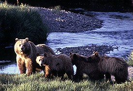 Grizzly bear with three cubs along river bank