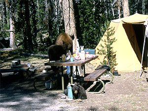 Black bear cubs raiding a campsite, Yellowstone National Park; 1964