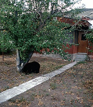 Bear under a tree in front of a home
