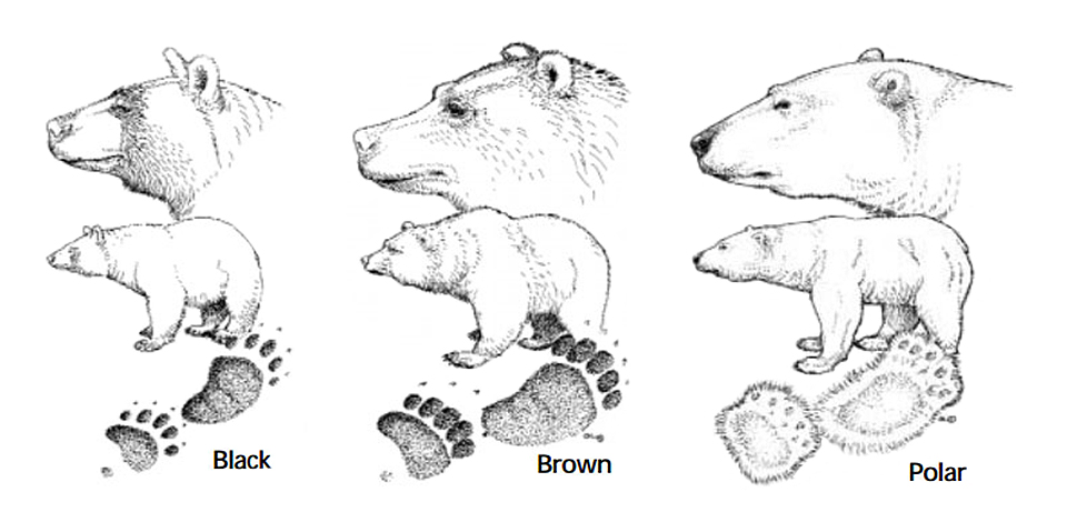 Types of Bears - Bears (U.S. National Park Service)