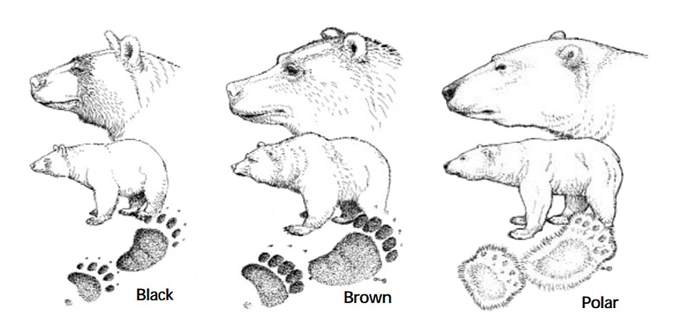 Illustration comparing profiles and tracks of black, brown, and polar bears