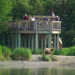 Visitors standing on a viewing platform and watching a brown bear pass underneath
