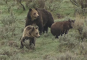 Mother grizzly bear with two cubs on a grassy hill in Yellowstone National Park
