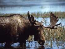 A moose having a drink of water from a lake