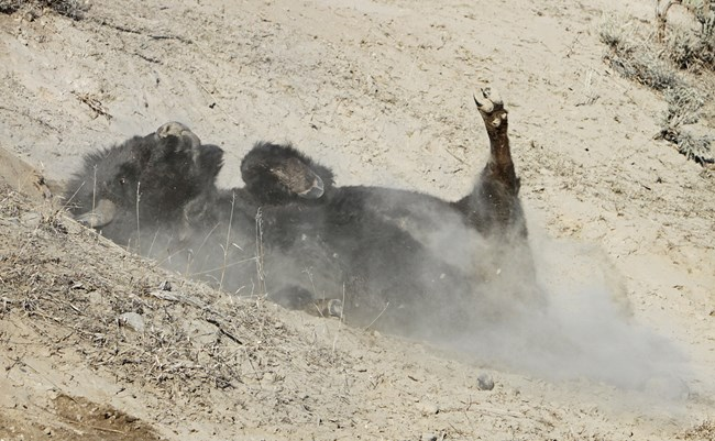Bison on its back in the dirt, dirt flying up around it