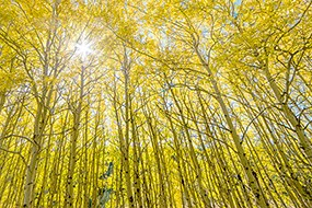 The sun shines through aspen trees and yellow leaves