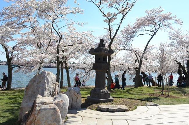 Japanese Stone Lantern surrounded by spring blooming cherry trees