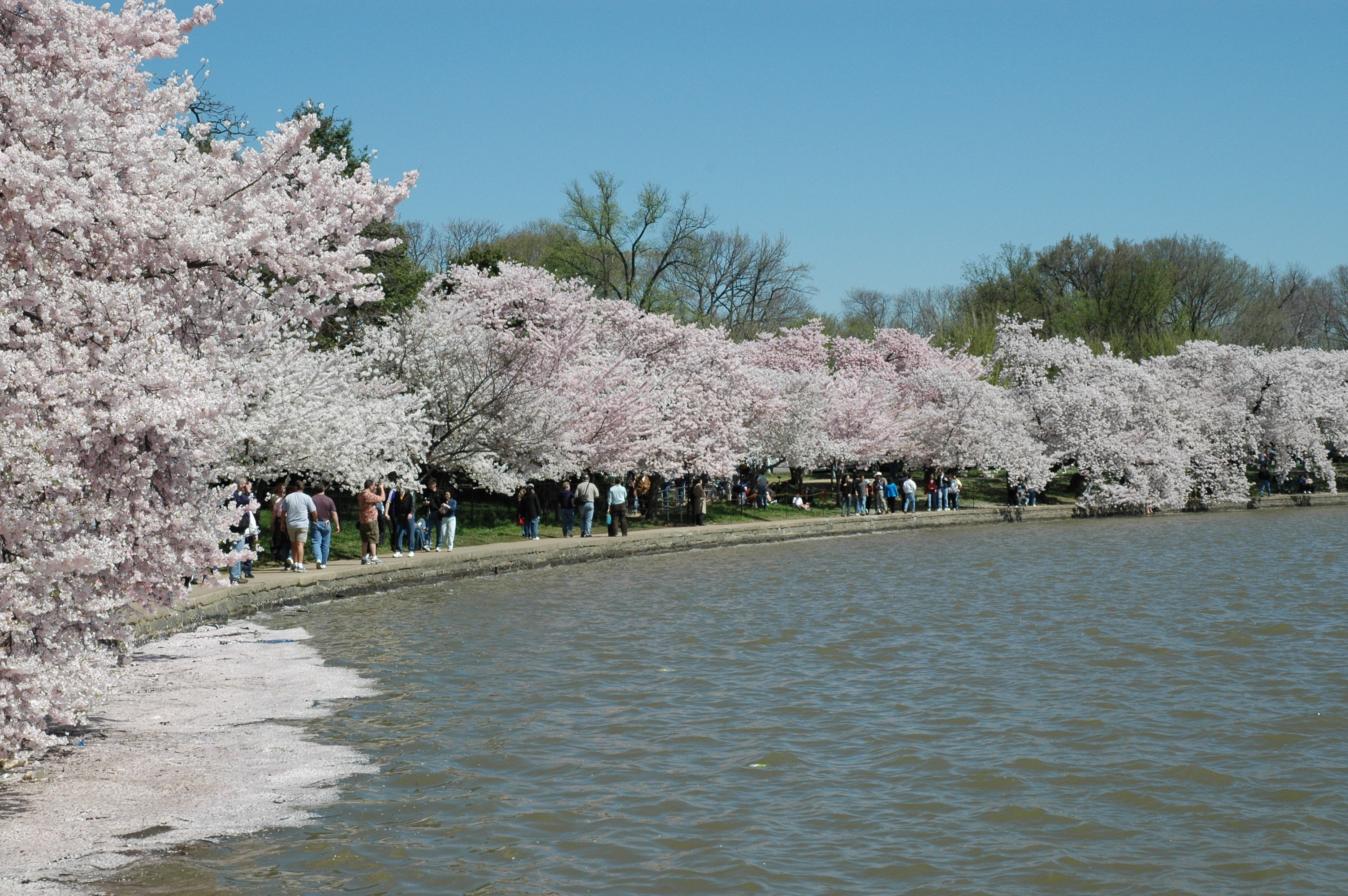 Caring For Cherry Trees In Washington Dc Cherry Blossom Festival U S National Park Service