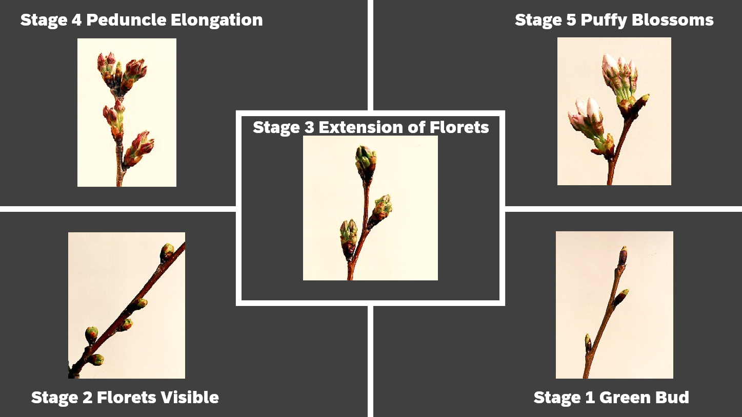 A spread of five images showing the stages of blooming
