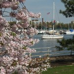 Cherry Trees along Hains Point