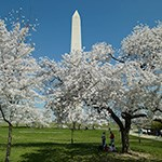 View of Washington Monument and Cherry Trees