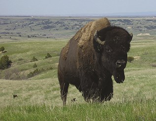Large bison standing in a prairie in Badlands National Park