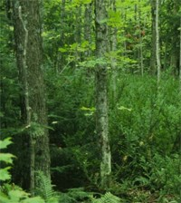 Canada yew in the Apostle Islands forest understory