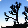 Joshua Trees are impacted by climate change