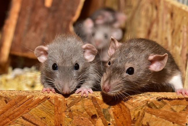 a family of rats
