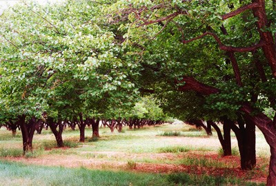 Long rows of apricot trees grow in the Mulford Orchard at Capitol Reef National Park.