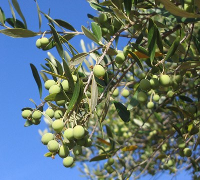 Olives hang from the branches of a tree in a historic orchard at Channel Islands National Park.