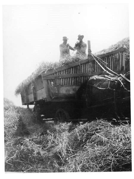 Two men shovel hay from atop a horse-drawn wagon.