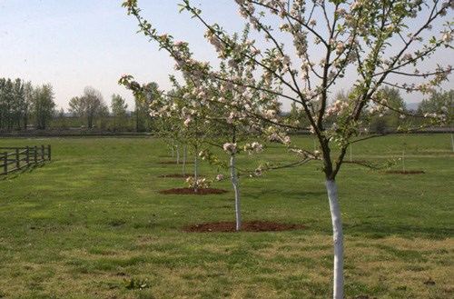 Blossoms decorate the branches of a row of young apple trees at Fort Vancouver National Historic Site.