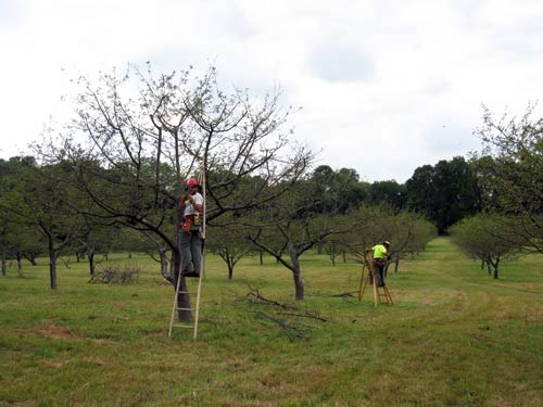 Two NPS staff members on ladders prune trees in an orchard