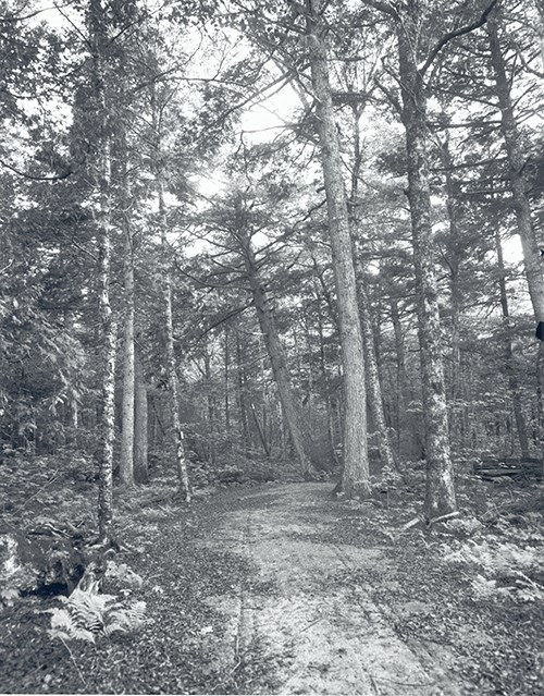 Black and white image of unpaved path through a wooded area with ferns