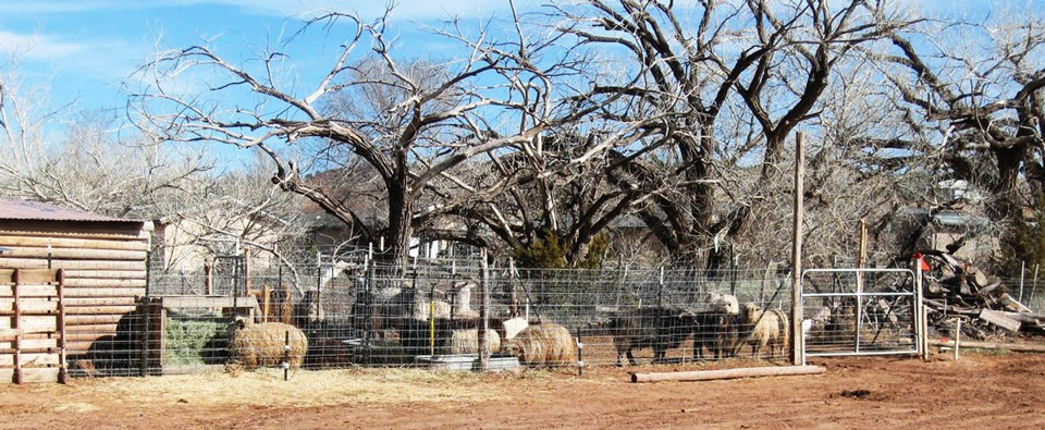 Sheep cluster under bare trees on the agricultural vernacular landscape of Hubbell Trading Post.