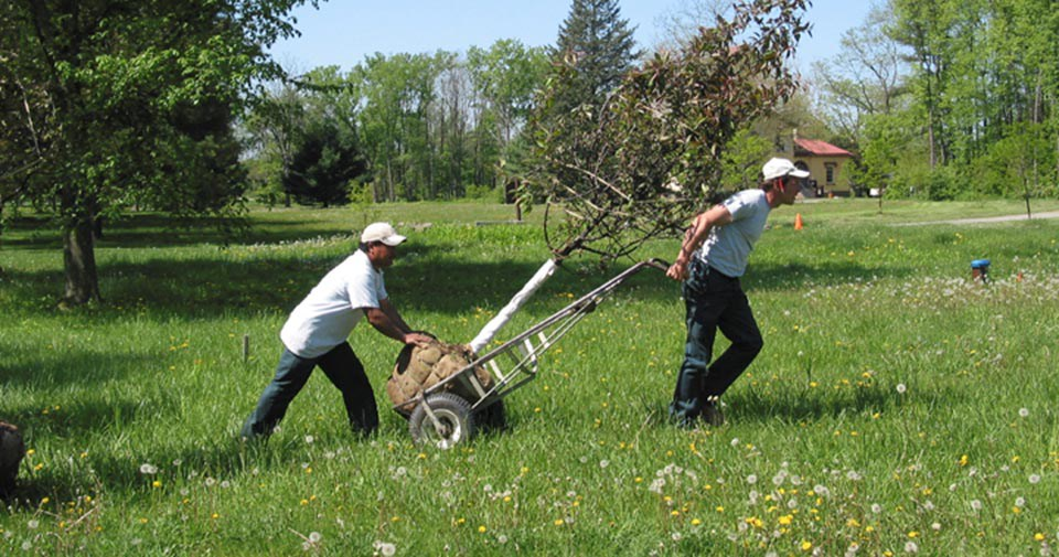Two men pull an unplanted tree on a dolly through tall grass.