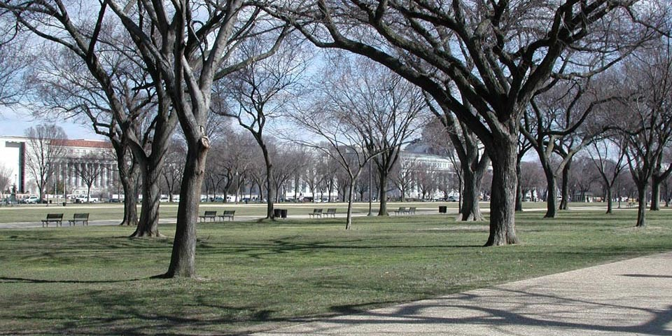 Elms grow on a flat grassy area of the National Mall, beside a walkway