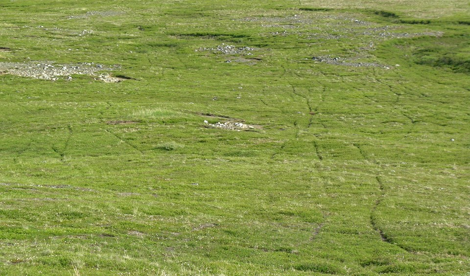Pathways through low green grass indicates caribou trails