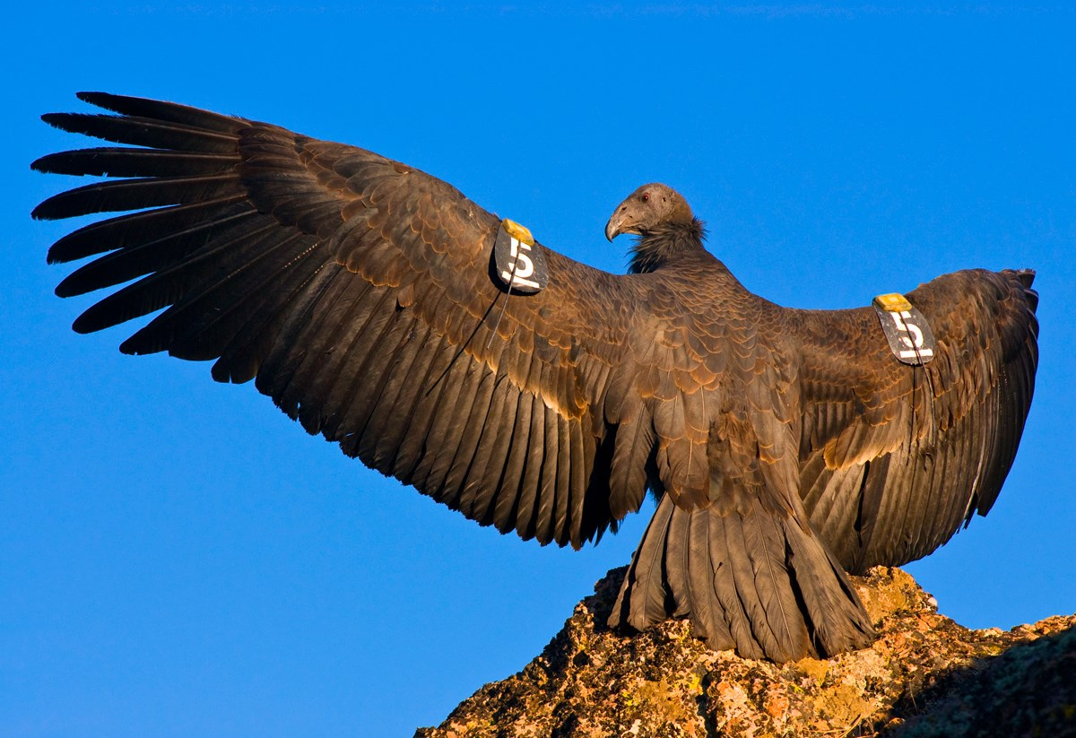 A condor spreads it's wings in the sunshine.