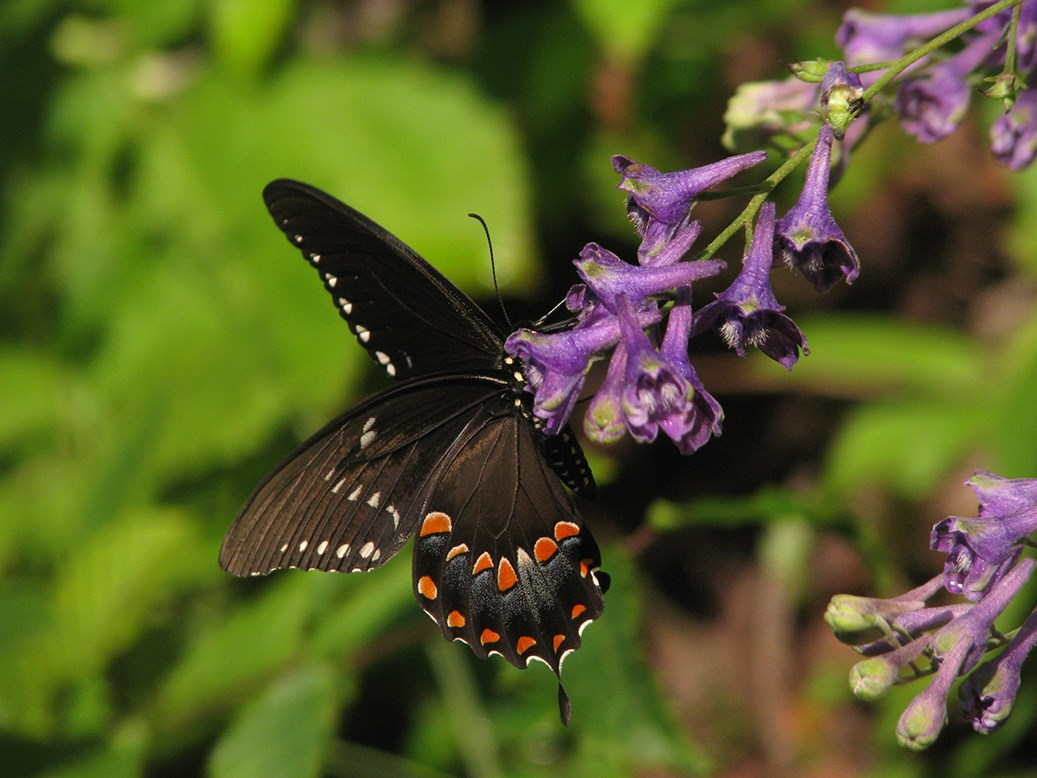 Colorful butterfly on purple tall larkspur flower.