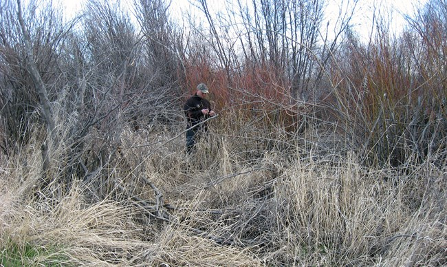 A firefighter is surrounded by tall grasses and riparian shrubs.
