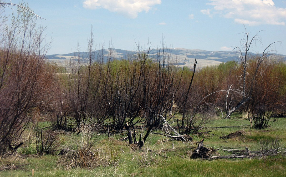 View of the burned area with green grass after the burn.
