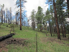An open grassy slope with ponderosa pines spaced in a park-like setting.