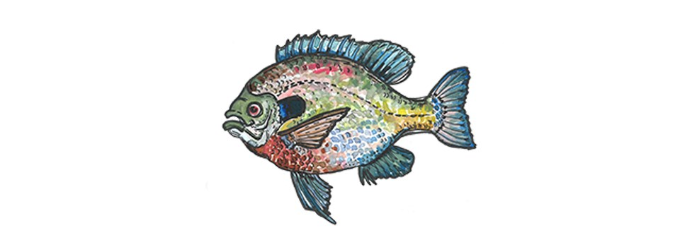 cartoon of a colorful bluegill sunfish.