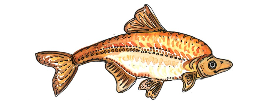cartoon humpback chub.