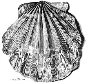 illustration of sea shell