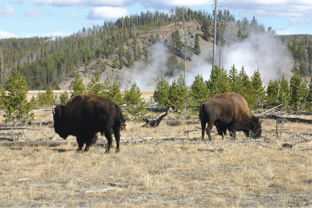 bison grazing in thermal area
