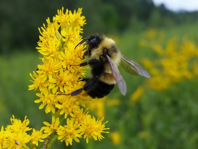 Bee on yellow goldenrod flowers at Effigy Mounds NM