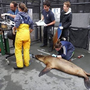 An international volunteer from Chile worked with sea lions at Golden Gate National Recreation Area.
