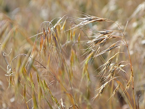 Dried cheatgrass, with brown, spiny looking ends