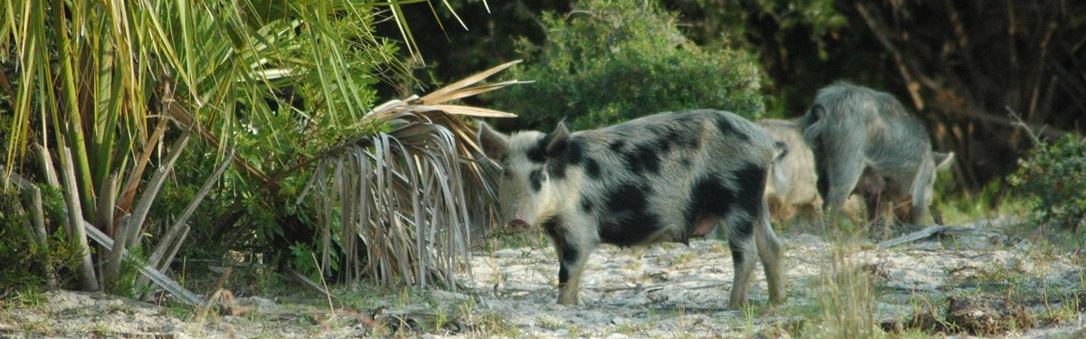 Feral swine in a forest clearing