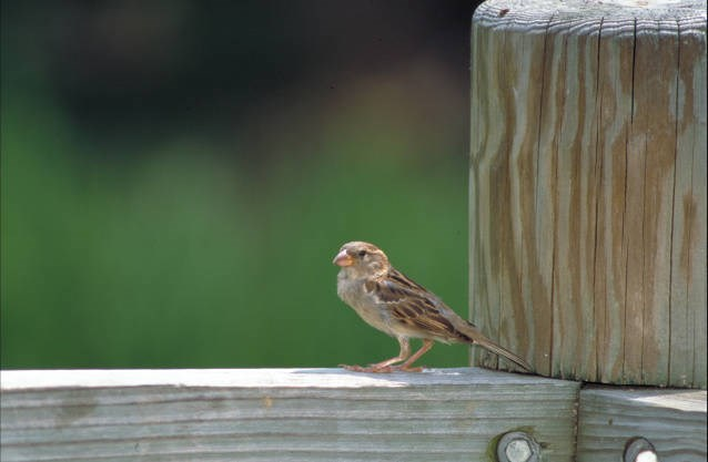 Small, brown bird perched on a wood post