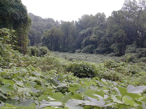 A forest smothered by the kudzu's long, green vines