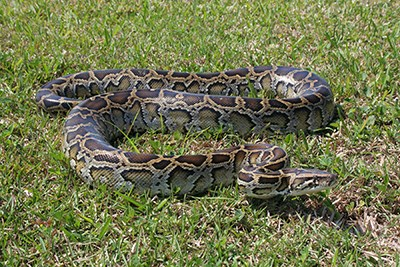 A large snake in the grass